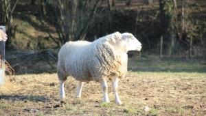 Les chroniques ovines chambre d 39 agriculture meuse - Chambre d agriculture haute vienne ...